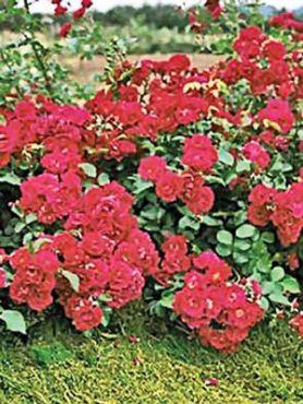 Роза почвопокровная Hello (1 шт)