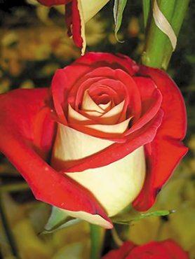 Роза чайно-гибридная Большой Театр(1 шт)
