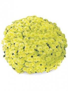 Хризантема мелкоцветковая низкорослая Rondella Sprinter Geel (3 шт)