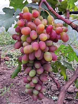 Виноград Сенсація (1 шт) - 1