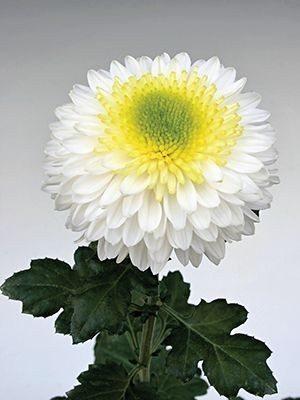 Хризантема срезочная Inga White (9 шт) - 1