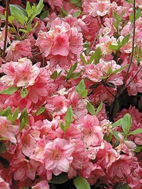 Рододендрон японський Blaauw Pink (1 шт)