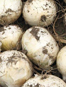 Лук севок Сноуболл (3 кг)