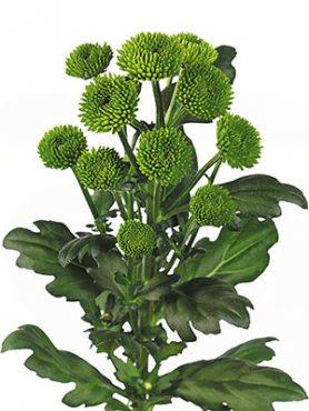 Хризантема срезочная Palm Green Dark (3 шт)