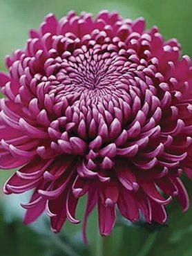 Хризантема срезочная Regal Mist Purple (9 шт)