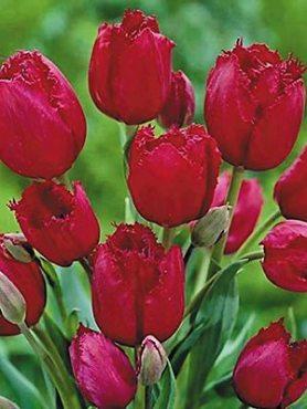 Тюльпаны Многоцветковые Gipsy Love 1112 (3 шт)