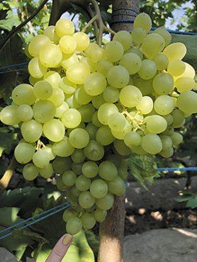 Виноград кишмиш Цимус (1 шт)