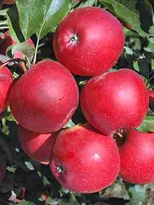 Яблоня Гала Маст (1 шт) - 1