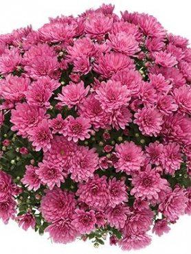 Хризантема мелкоцветковая низкорослая Branbeach Lilac (9 шт)