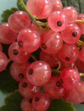 Смородина розовая Чудесная (1 шт)