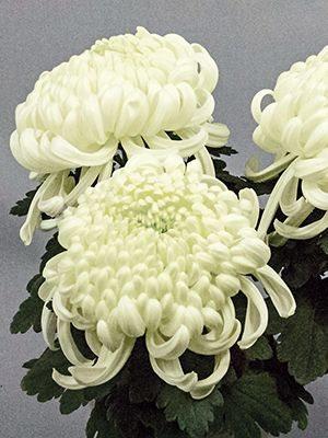 Хризантема срезочная Vienna White (3 шт) - 1