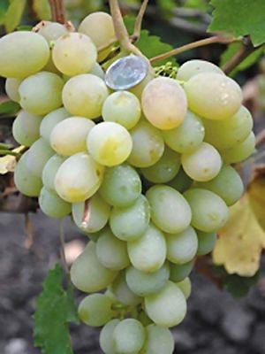 Виноград Ванюша (1 шт) - 1
