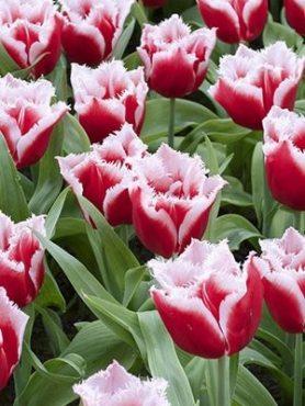 Тюльпаны Бахромчатые Canasta 1011 (100 шт)