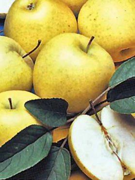 Яблоня Голден Делишес (1 шт)