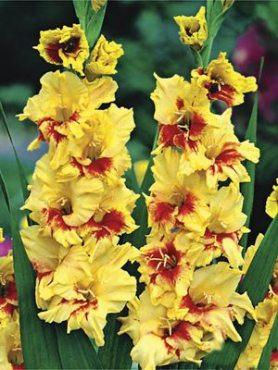 Гладиолус садовый Jester (5 шт)