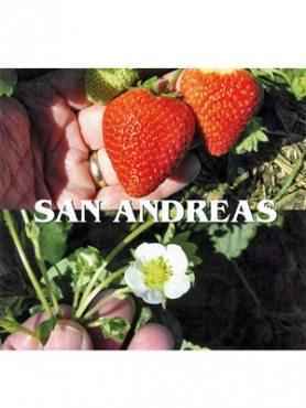 Суниця великоплідна (полуниця) San Andreas (5 шт)