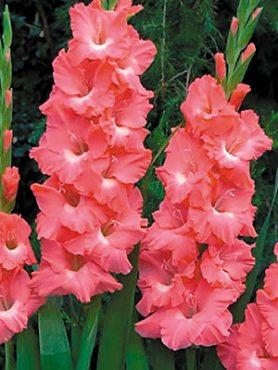 Гладиолус садовый Jessica 1416 (5 шт)