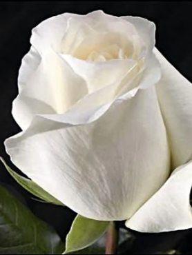 Роза чайно-гибридная Avalanche(1 шт)