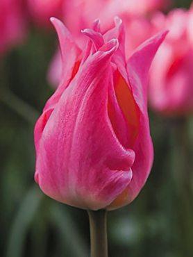 Тюльпани Лілієцвітні Pretty Love 1011 (3 шт)