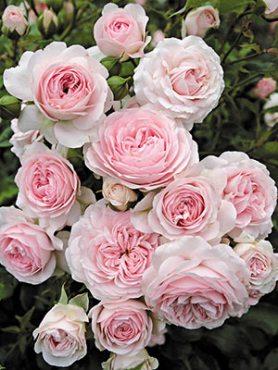 Роза шраб Larissa (1 шт)