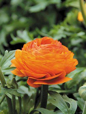 Жовтець азіатський Aviv Picotee Orange (3 шт) - 1