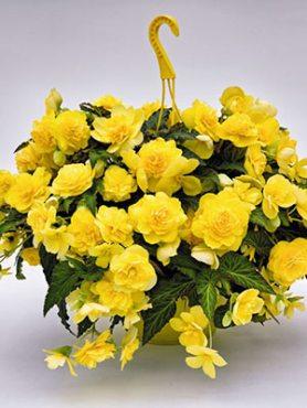 Бегонія бульбова Nonstop Joy Yellow (6 шт)