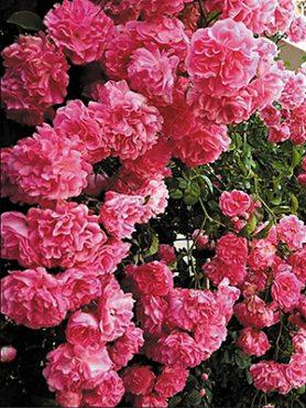 Роза плетистая Victoria (1 шт)