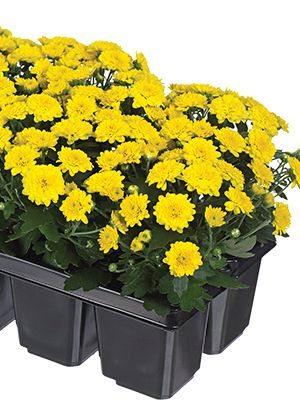 Хризантема дрібноквіткова низькоросла Baby Mum Yellow imp. (3 шт) - 1