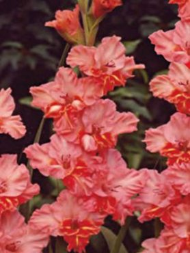 Гладиолус садовый Shady (20 шт)