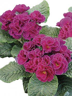 Первоцвіт звичайний (акауліс) Rubens Purple F1 (3 шт)