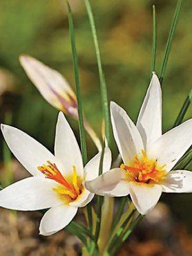 Крокус ботанический Флейшера 57 (2 шт)