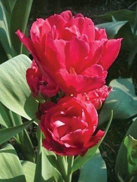 Тюльпаны Многоцветковые Bearing Point 1112 (3 шт)