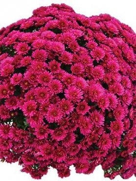 Хризантема мелкоцветковая низкорослая Brankiss (9 шт)