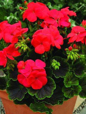 Пеларгонія зональна Ніч F1, червона Темна листя! (5 шт) - 1