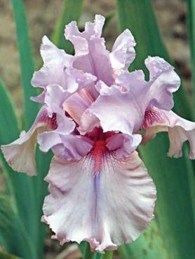 Ирисы высокие бородатые Blushing Pink (1 шт)