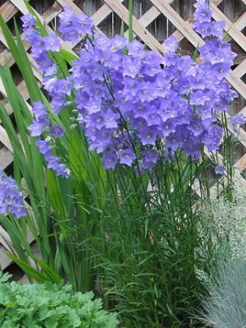 Колокольчик персиколистный Синий колокол, светло-синий (0,2 г)