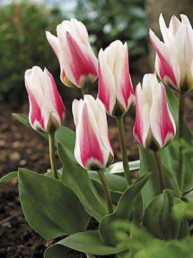 Тюльпаны Фостера Border Legend 1112 (3 шт)