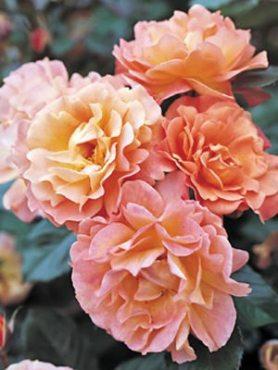 Роза чайно-гибридная Versilia (1 шт)