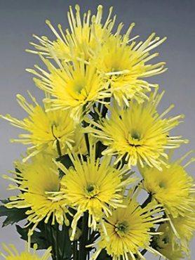 Хризантема срезочная Annecy Lemon (3 шт)