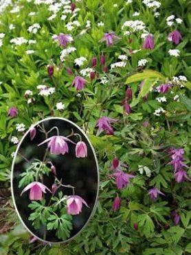 Водосбор бесшпорцевый (семиаквилегия), фиолетово-пурпурный (5 шт)