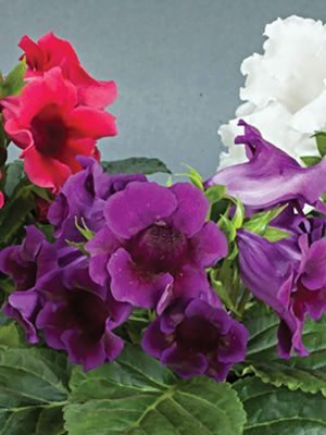 Глоксиния (синнингия) гибридная Multi Bells F1, смесь цветов (3 шт) - 1