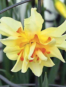 Нарциссы Махровые Flower Drift 10/12 (20 шт)
