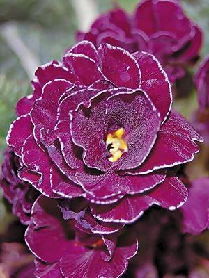 Примула обыкновенная Petticoat Violett F1 (3 шт) - 1