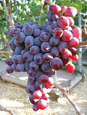 Виноград Низина (1 шт)