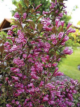 Вейгела цветущая Victoria (1 шт)