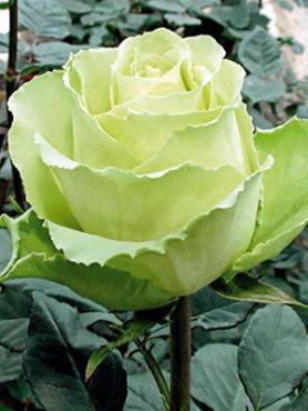 Роза чайно-гибридная Елена(1 шт)
