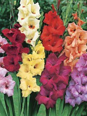 Гладіолус садовий, суміш сортів 1214 (10 шт)