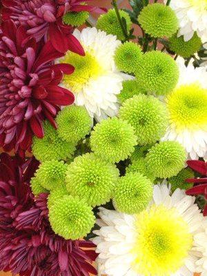 Хризантема срезочная, суміш сортів (9 шт) - 1