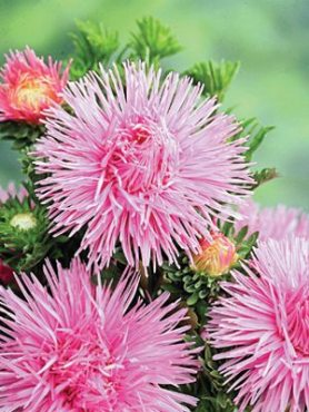 Астра китайская игольчатая Уникум Tristan, ярко-розовая (0,5 г)