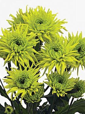 Хризантема срезочная Galiaro Green (3 шт) - 1